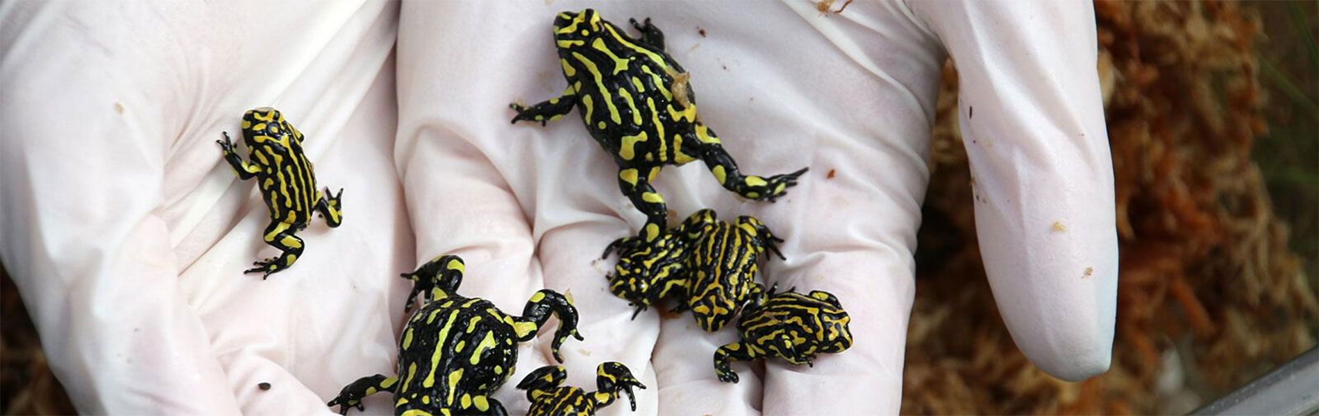 Australia's Southern corroboree frog (Pseudophryne corroboree) is one of the world's most endangered amphibians