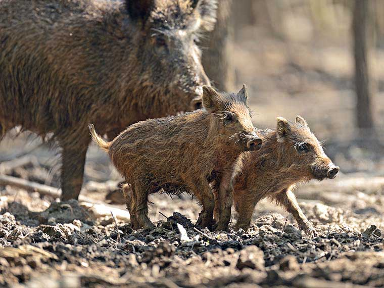 wild pigs on the run