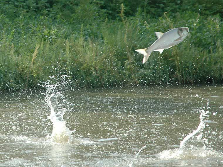 Invasive Asian carp pose double threat