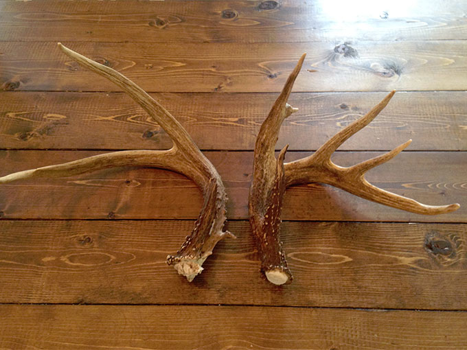 Deer antlers may hold health secrets