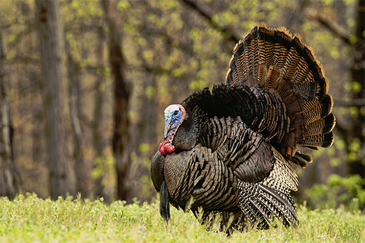 MSU research tracks turkey movement, habitat use