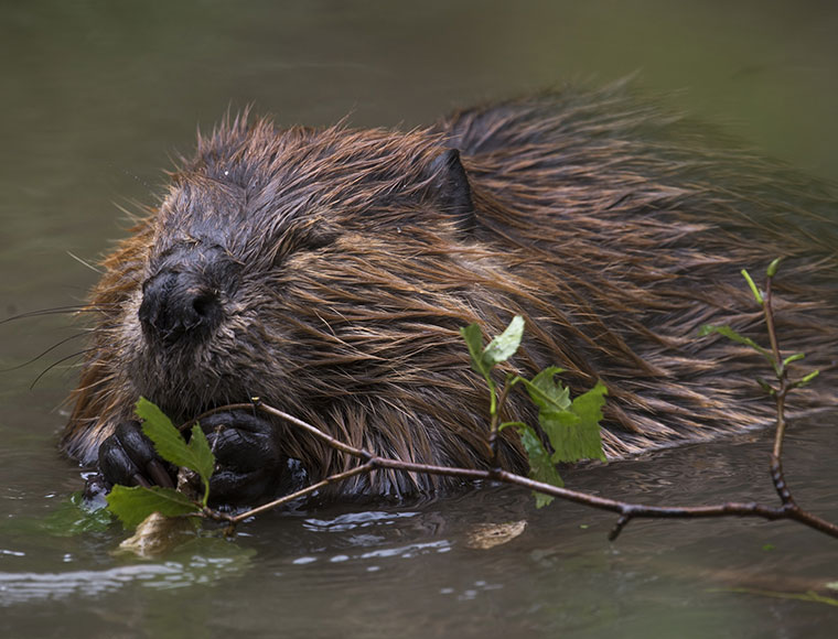 Tracking Beavers: Researchers study American beavers for wildlife management