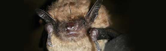 Are eastern red bats sexually dimorphic